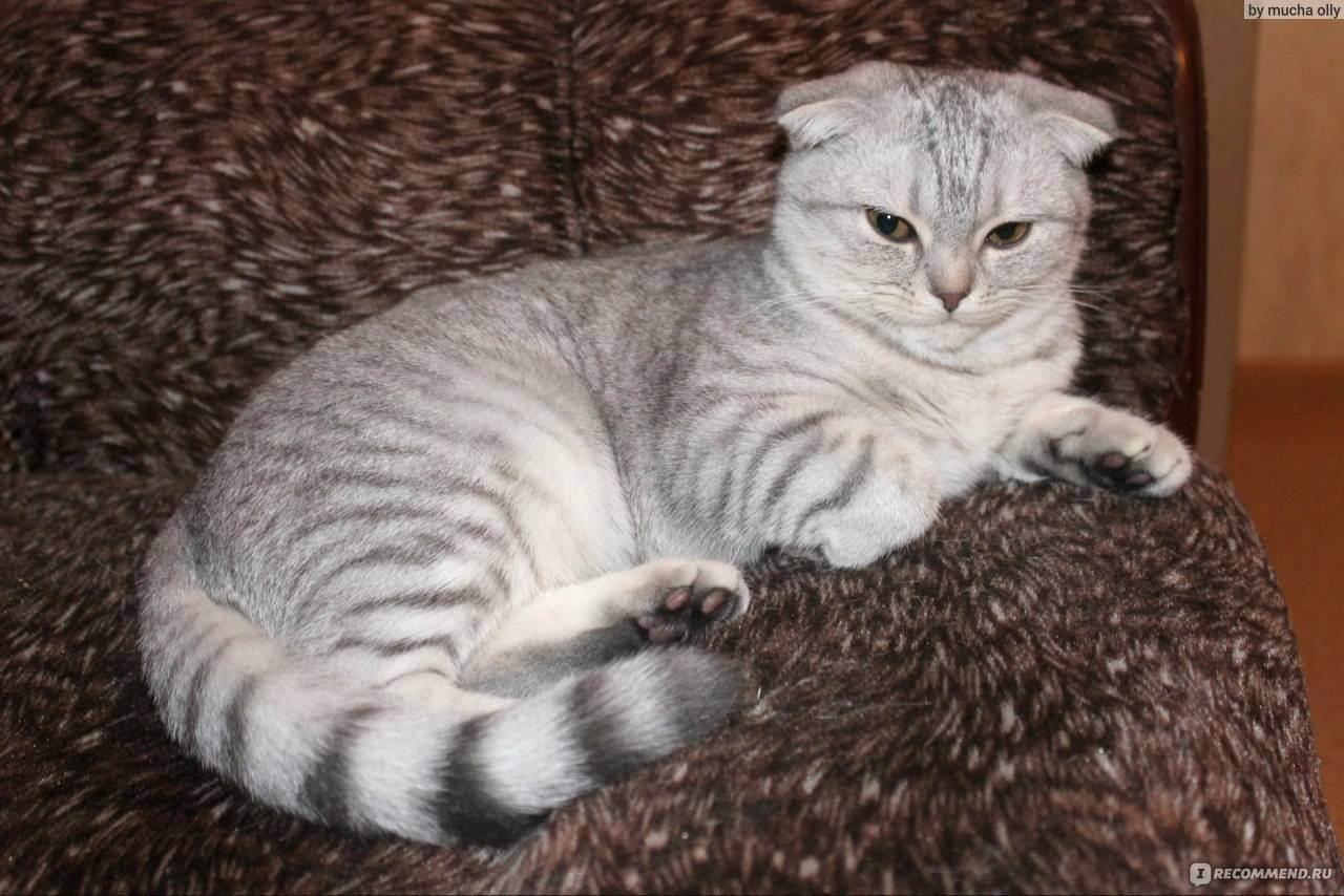 Скоттиш-фолд – шотландская вислоухая кошка