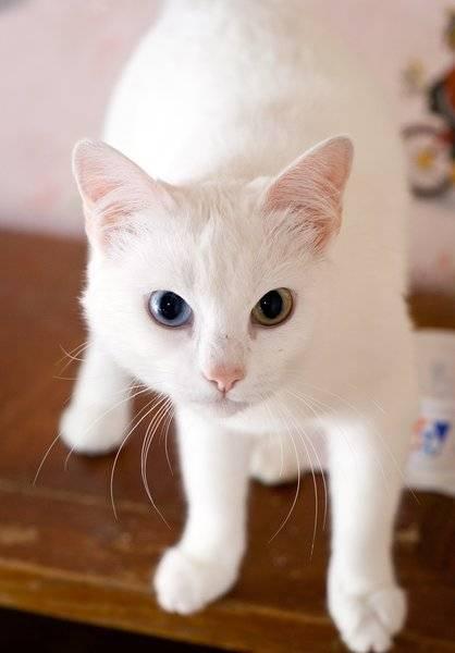 Почему у некоторых кошек разные глаза: причина гетерохромии и породы разноглазых котов – белых, черных, разноцветных