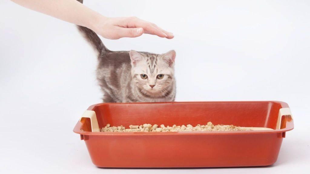 Как приучить котёнка к лотку быстро, можно ли за 1 день, советы ветеринаров
