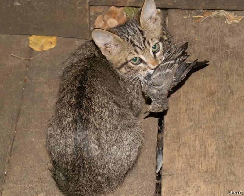 Кошки-крысоловы: лучшие породы | фото, какие коты ловят мышей и крыс