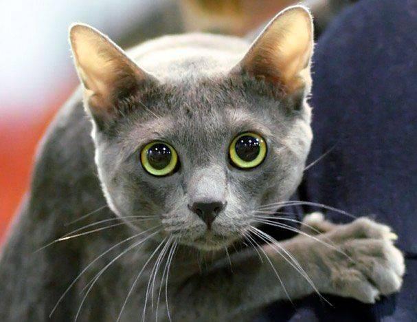Корат кошка: описание породы, фото, характер, видео, уход