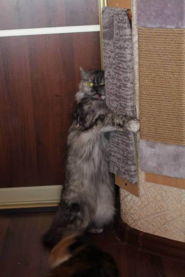 Кошачья мята для кошек: для чего она нужна, фото, описание, где растет