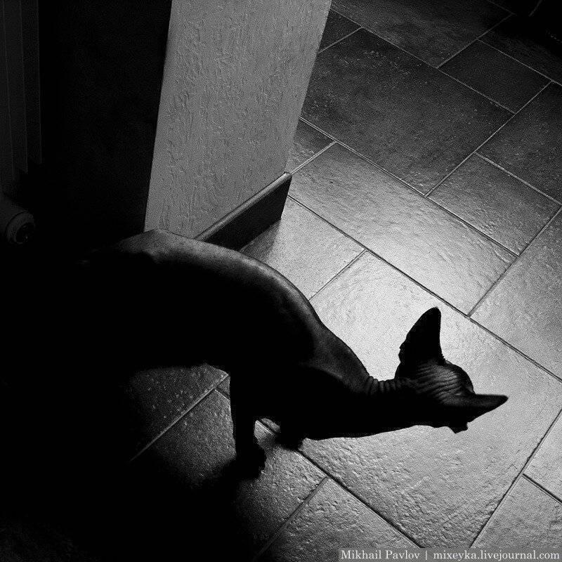 Кошачьи свадьбы: поведение кошек во время вязки
