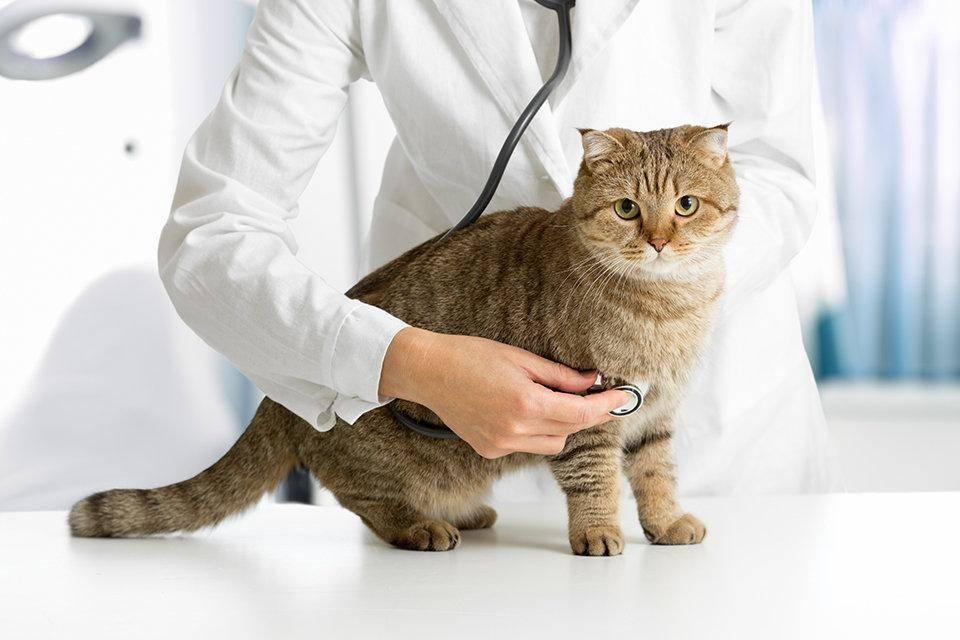 Нужно ли кастрировать кота, если он не выходит на улицу: опасно ли, стоит ли делать в преклонном возрасте