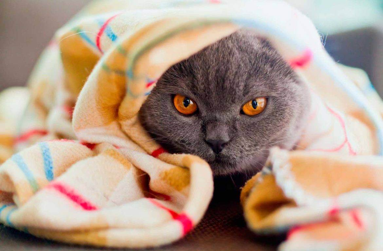 Есть ли аллергия на британских котов