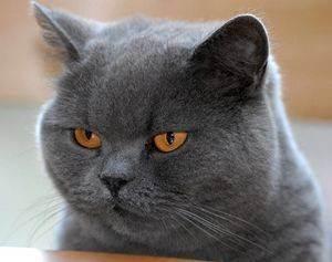 Сонник моя британская кошка. к чему снится моя британская кошка видеть во сне - сонник дома солнца