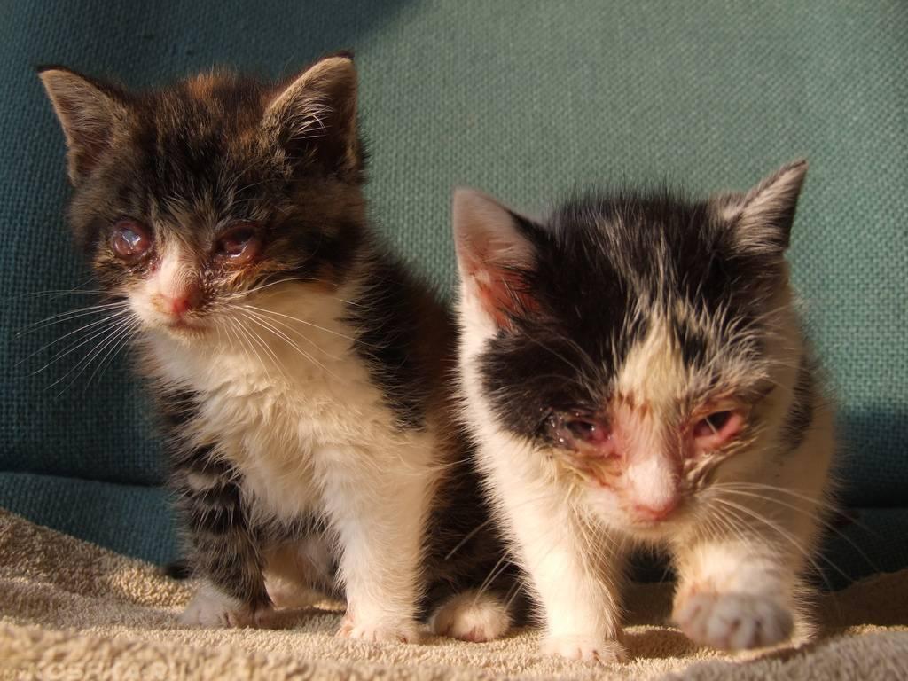 Кошка чихает и появились зелёные сопли, как её лечить в домашних условиях