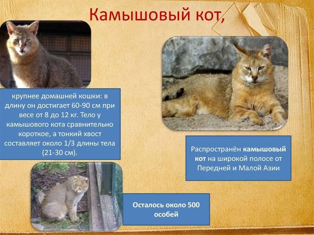 Камышовый кот: фото животного, особенности жизни и содержания в домашних условиях