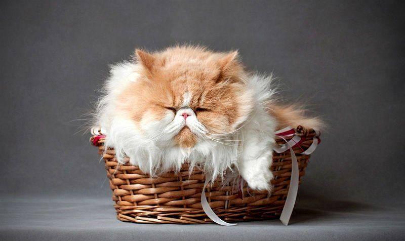 Сколько живут кастрированные персидские коты