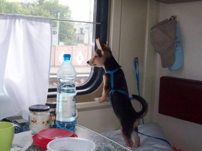 Как перевезти кошку в самолете на поезде или на автомобиле