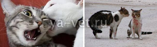 Что такое иммунодефицит у кошек и насколько он опасен для человека
