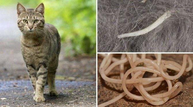 Как вьлечить огуречный цепень у кошек