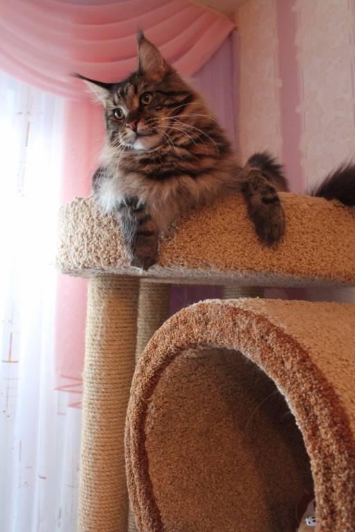 Каким кормом кормить мейн-куна (взрослую кошку и котенка): сухой и влажный корм, рекомендации, разрешенные и запрещенные продукты