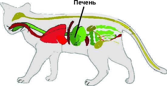 Какой корм подходит для кошек с заболеваниями печени