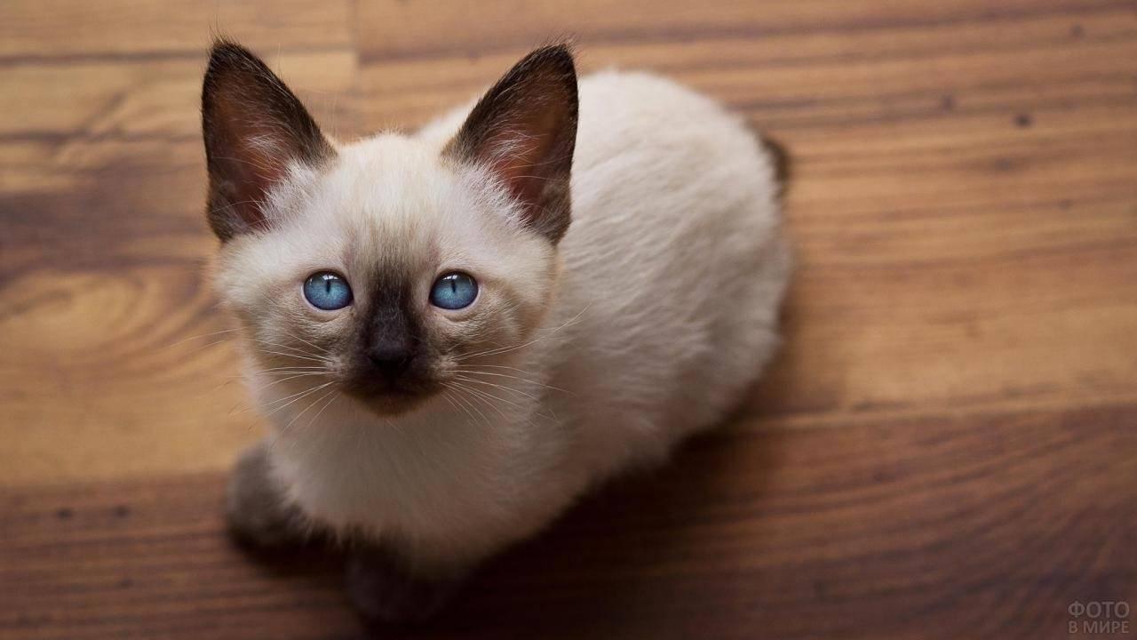 Сиамская кошка – капризная восточная красотка с чарующим взглядом