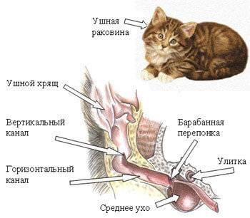 Сколько мышц у кошки в ухе: анатомия, секреты строения