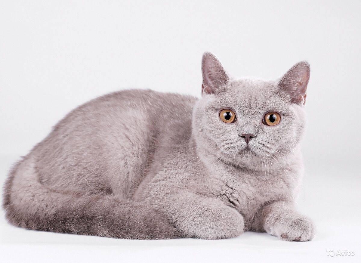 Стандарты породы кошек британская