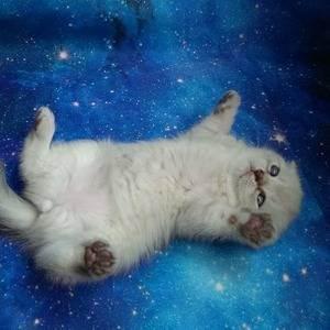 Окрасы шотландских прямоухих кошек (29 фото): черные и рыжие, серые и белые прямоухие коты, мраморные и дымчатые, голубые и полосатые скоттиш-страйты