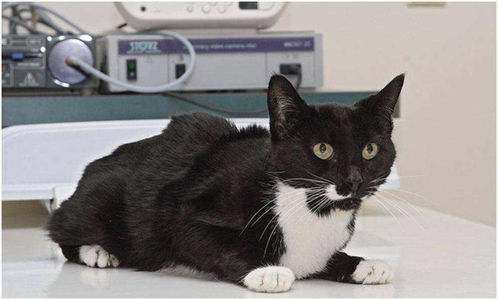 Коронавирусная инфекция кошек: симптомы, лечение, для кого опасно
