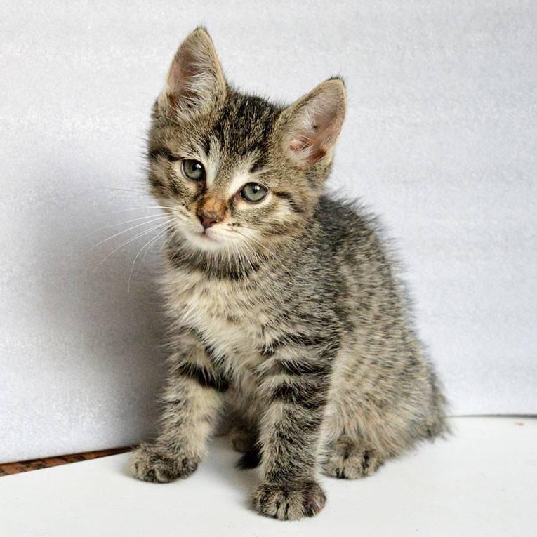 Описание серого полосатого котенока