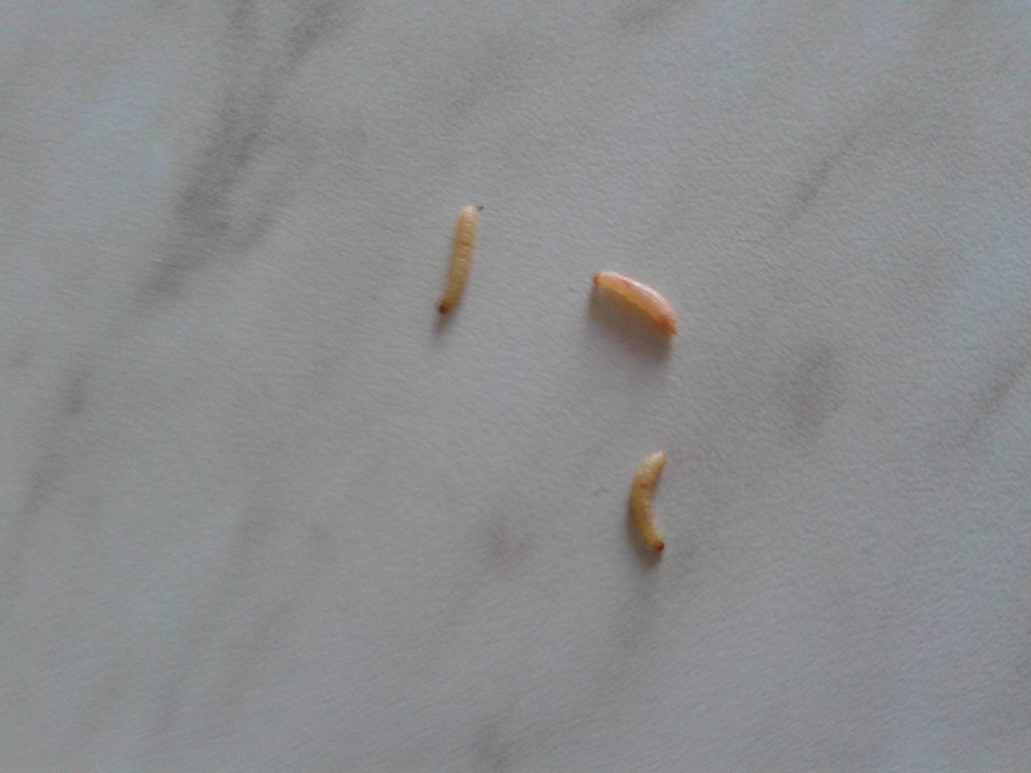 Белые червячки в кале у кошки, у кота из заднего прохода глисты фото