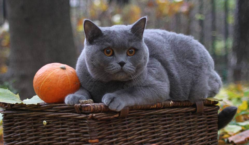 Британская длинношёрстная кошка — википедия переиздание // wiki 2