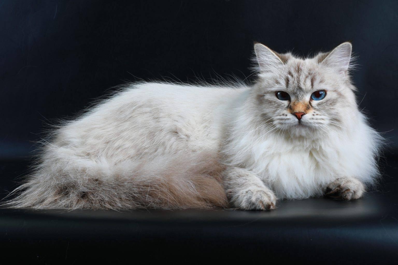 Характер невской маскарадной породы кошек, отзывы владельцев, отношения с детьми и собаками   кошки - кто они?