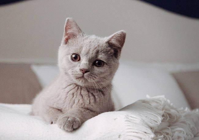 Выпадение шерсти у британцев. что делать если британский кот сильно линяет? воспитание британских кошек