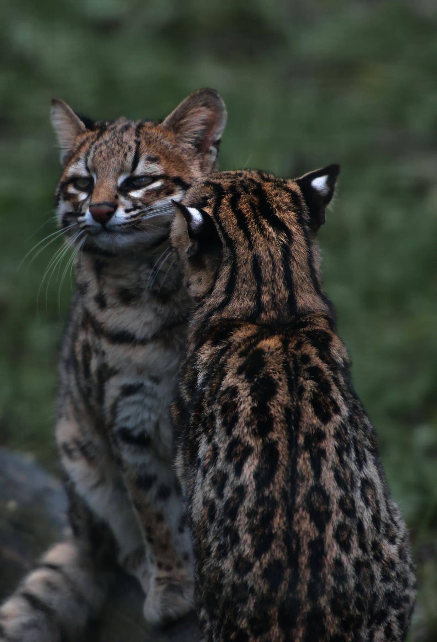 Разновидности представителей семейства кошачьих: список хищников с фото и названиями