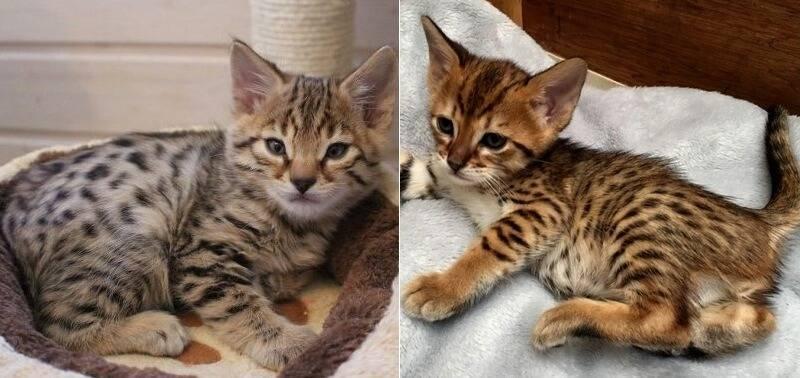 Домашние кошки породы саванна и их особенности