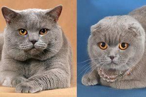 Как отличить шотландскую кошку от британской вислоухой