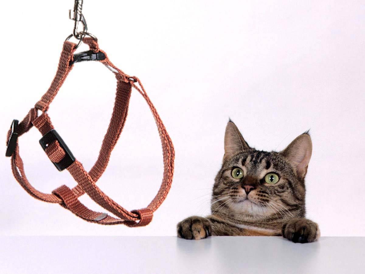 Как приучить кошку к поводку: полезные советы