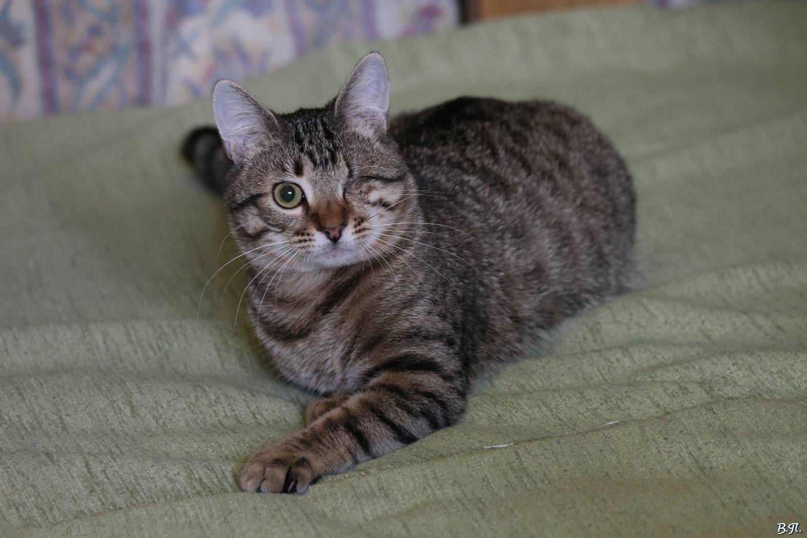 Обзор серых пород кошек – происхождение и особенности содержания серебристых котиков