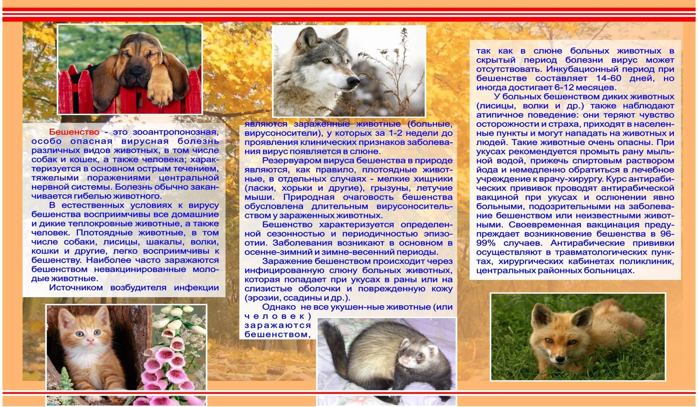 Инкубационный период бешенства у кошек: когда ждать первые симптомы заболевания