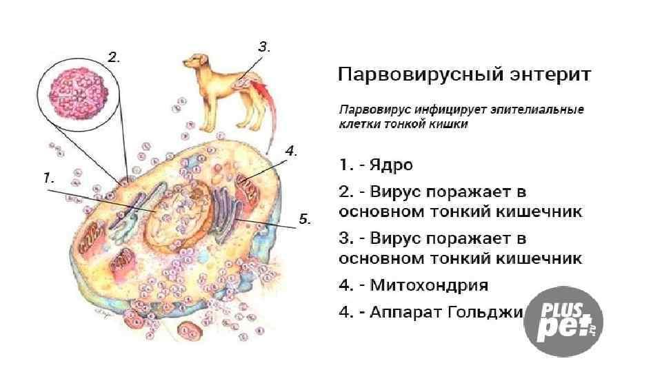 Энтерит у кошек: формы, симптомы, диагностика, лечение и вакцинация
