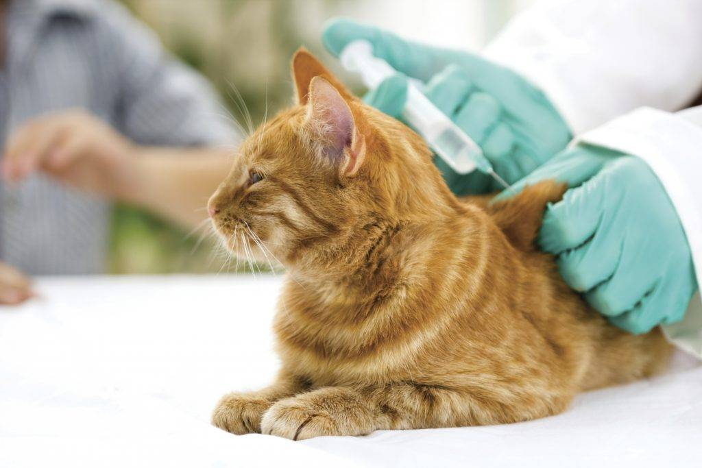Мастит у кошек: причины, симптомы, лечение антибиотиками, таблетками, уколами, массажем или народными средствами