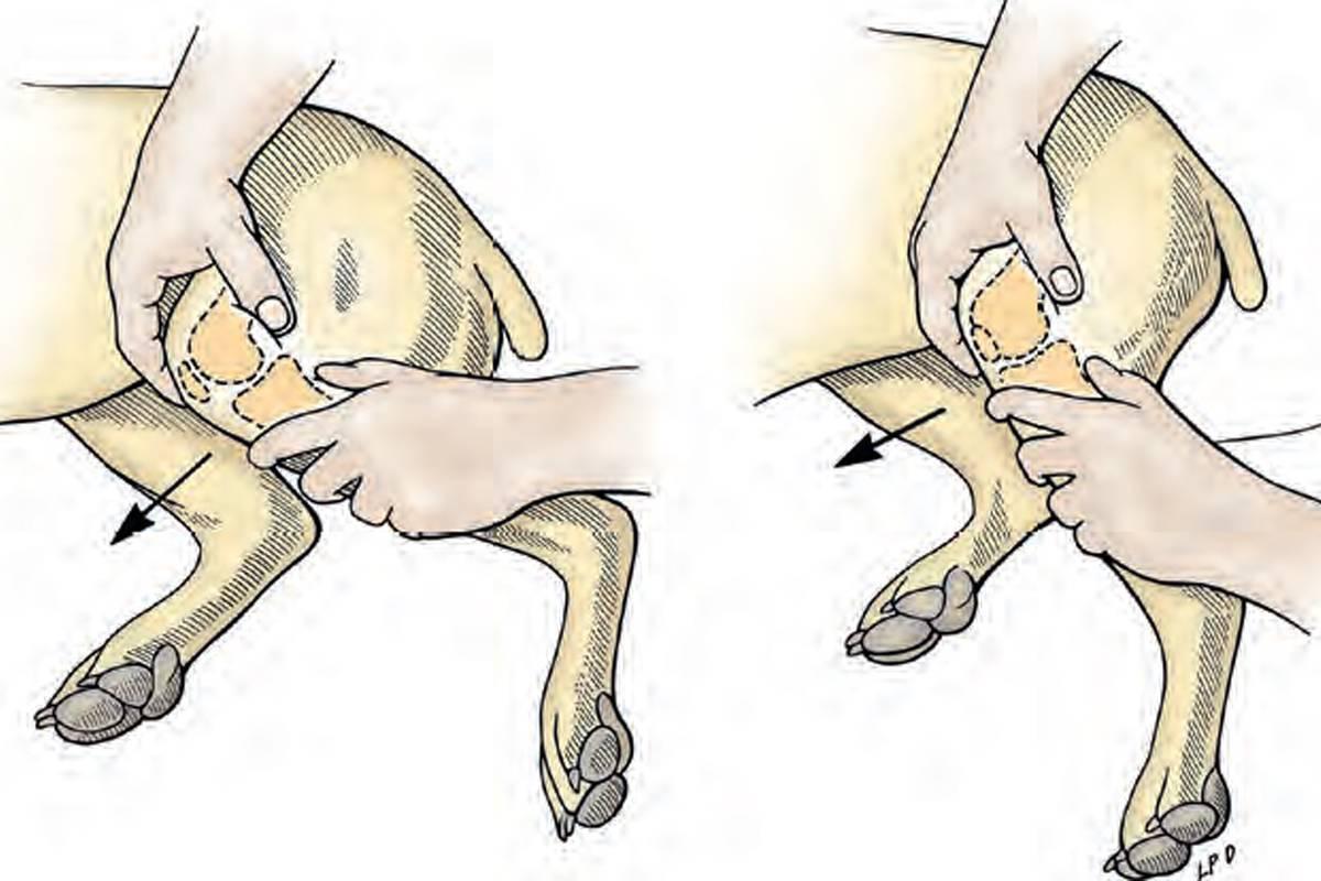 Кот или кошка хромает на переднюю или заднюю лапу: что делать | причина, почему