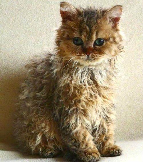 Какие есть кошки с кудрявой шерстью