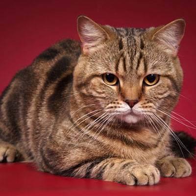 Есть ли аллергия на шотландских кошек