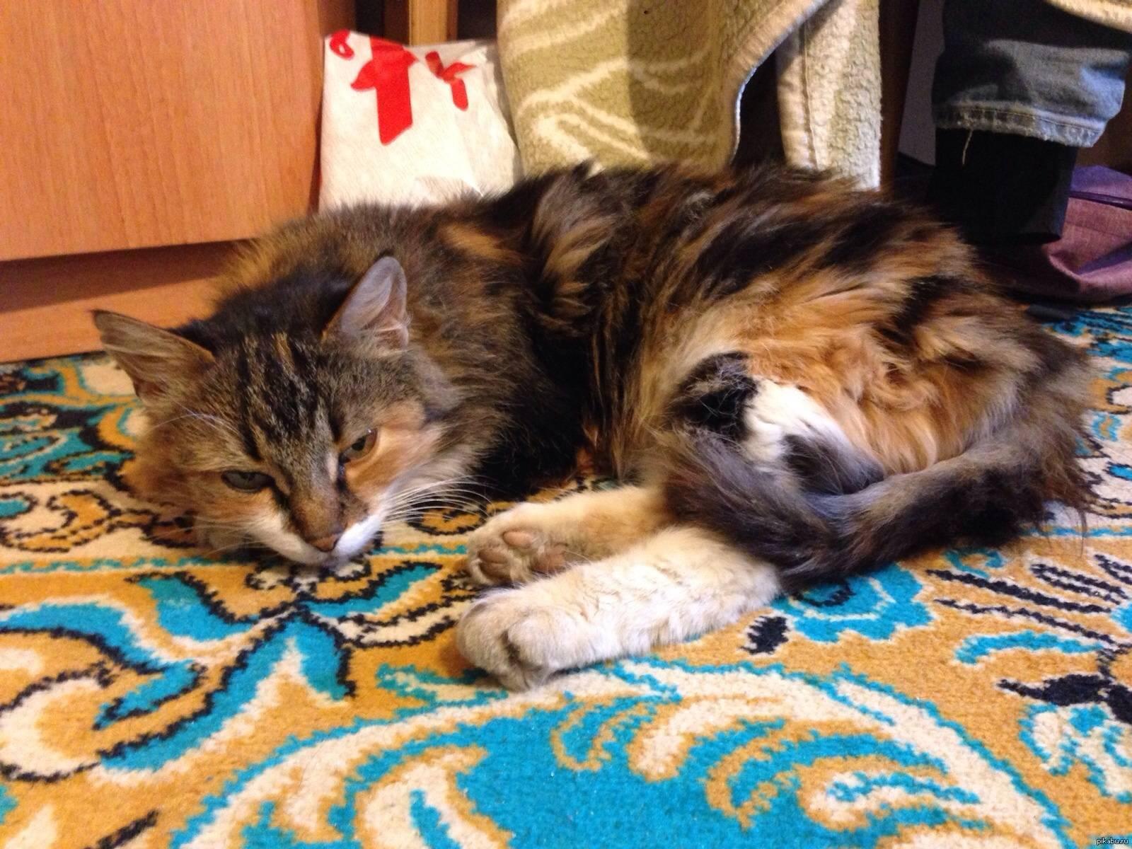Трехцветная кошка: приметы в доме, поверья и суеверия на улице, и к чему, если пришла на порог, приносит ли счастье?
