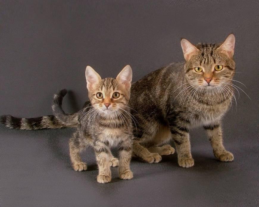 Исчезающие и редкие породы кошек в мире