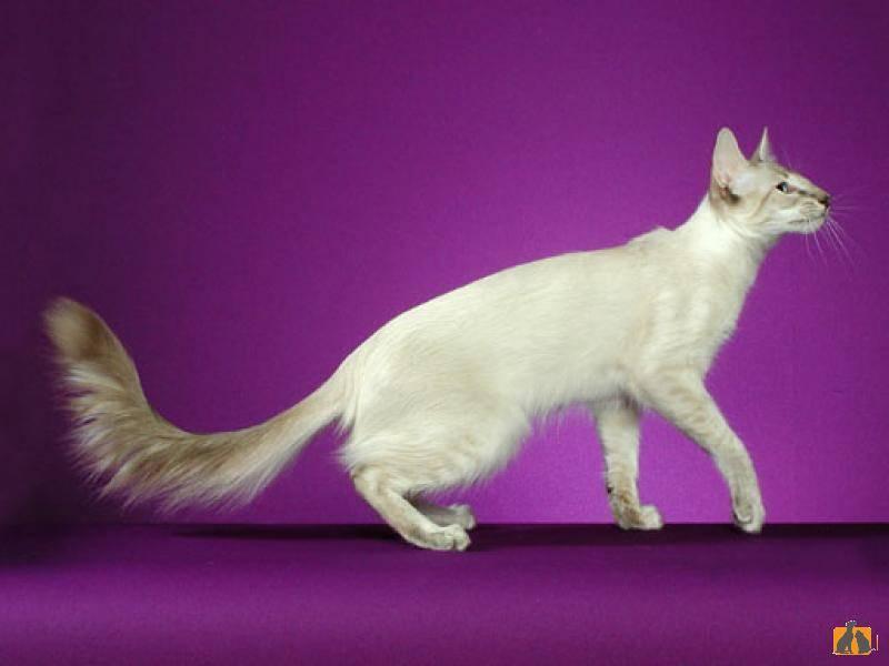 Турецкий ван: описание породы кошек с фото и видео