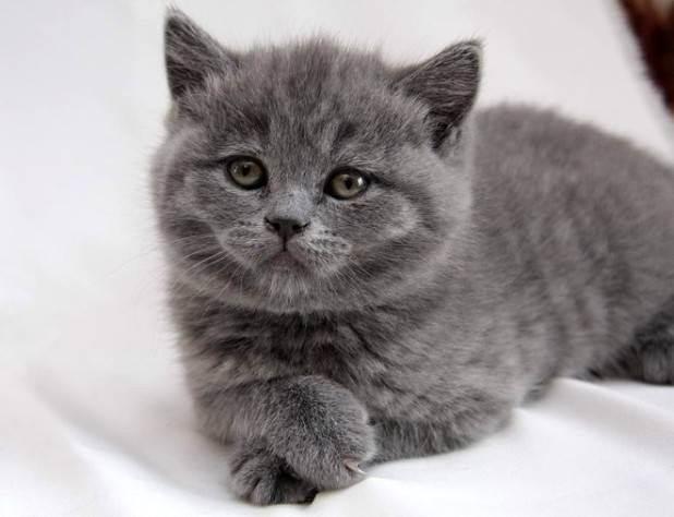 Британские лиловые кошки и коты: описание и список кличек