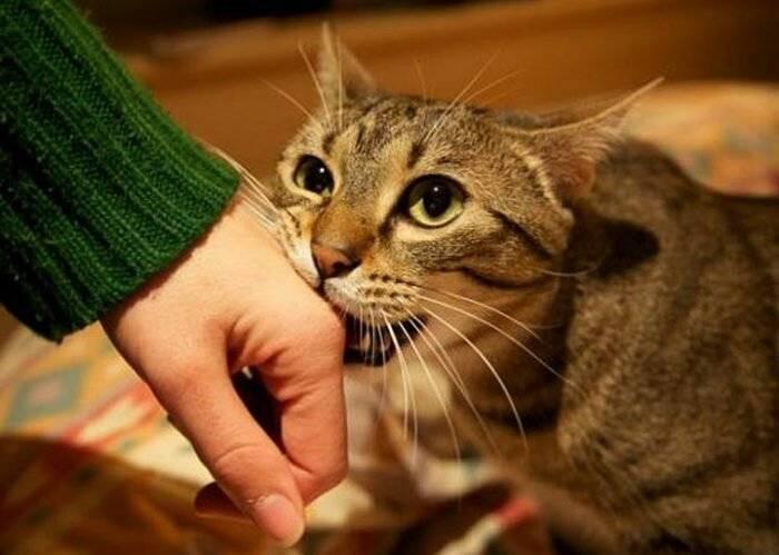 Почему кот кусается когда его гладишь и что делать в таком случае.
