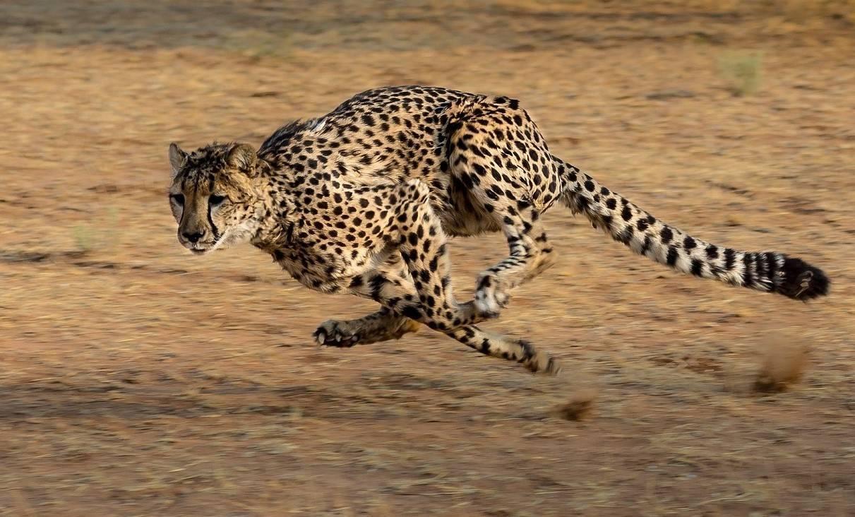 Самая большая дикая кошка в мире: описание, место обитания, особенности, размеры, фото