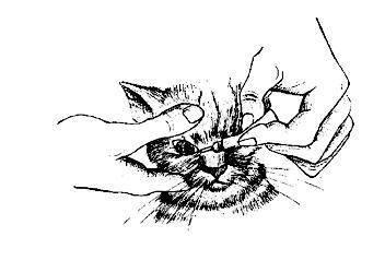 Как капать капли в глаза кошке?