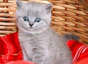 Имя для кота британца серого цвета: красивые и забавные клички, которыми можно назвать британского котенка серого окраса