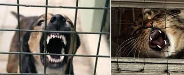 Как бешенство передается от кошки к человеку