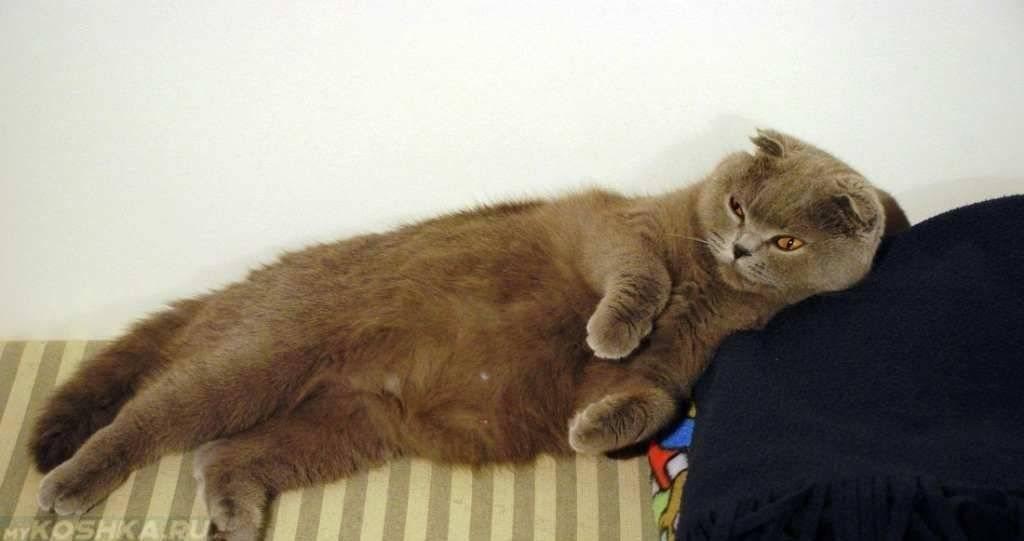 Сколько длится беременность у кошек шотландской — роды вислоухой кошки