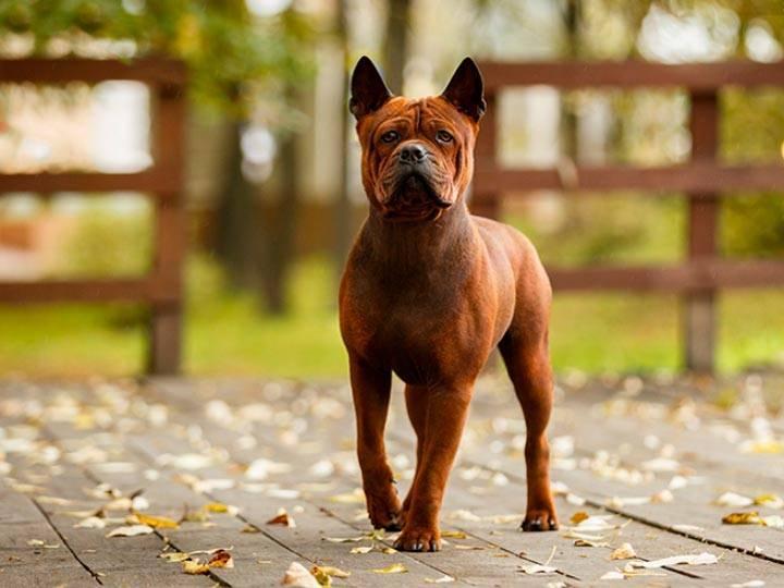 ᐉ собака чунцин или китайский бульдог: описание породы и стоимость щенка - kcc-zoo.ru